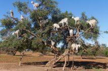 Geiten spelen een belangrijke rol in de traditionele oogst van argannoten.